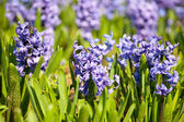 Beautiful hyacinth flowers — Stock Photo