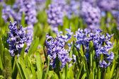Beautiful hyacinth flowers — Stock Photo