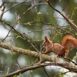 Red squirrel in the wild - Stock Photo