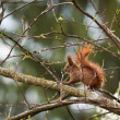 Red squirrel in the wild — Photo