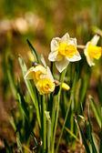 Yellow daffodil (Narcissus) — Stockfoto