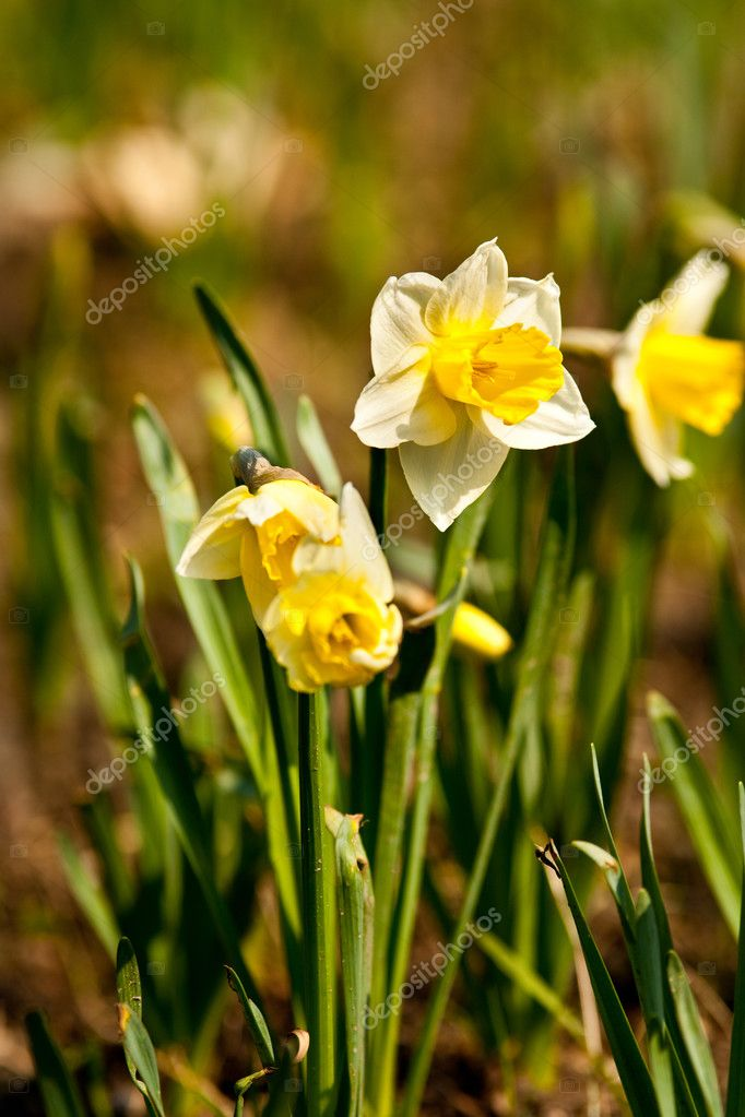 Close up of daffodil (Narcissus) in a garden with shallow depth of field  Stock Photo #2894405