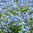 Forget-me-not flowers in a garden - Stock Photo