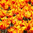 Royalty-Free Stock Photo: Yellow with red tulips