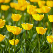Yellow tulips field - Stock Photo