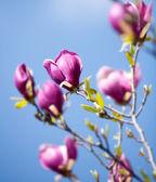 Springtime magnolia flowers — Stock Photo