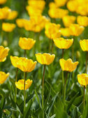 Yellow tulips field — Stock Photo