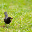Blackbird on a meadow - Stock Photo