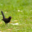 Blackbird on a meadow - Lizenzfreies Foto