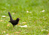 Blackbird on a meadow — Stock Photo