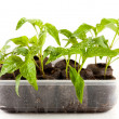 Peppers seedling from a nursery - Foto Stock