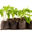 Stock Photo: Peppers seedling from nursery