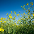 Rape field — Stock Photo #3067641