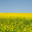 Rape field — Stock Photo #3067642