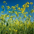 Rape field — Stock Photo #3067645