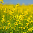 Rape field — Stock Photo #3067646