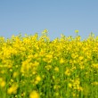 Rape field — Stock Photo #3067648