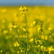 Rape field — Stock Photo #3067651