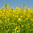 Rape field — Foto de Stock