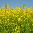 Rape field — Foto Stock