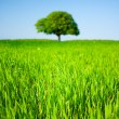Lone tree in a wheat field — Stock Photo