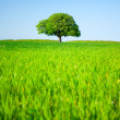 Stock Photo: Lone tree in a wheat field