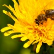 Busy bee pollinating - Stock Photo