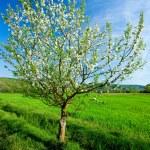 Lone tree in wheat field — Stock Photo
