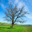 Stock Photo: Lone tree in wheat field