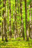 Young oak forest — Stock Photo