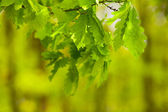 Young oak leaves — Stock Photo