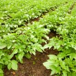 Potatoes field — Stock Photo