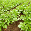 Stock Photo: Potatoes field