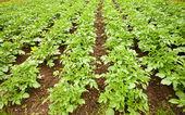 Potatoes field — Stock Photo