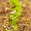 Carrot seedlings - Stock Photo