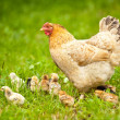 Chicken with babies — Stockfoto