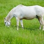White horse grazing — Stock Photo #3178751