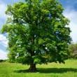 Single oak tree — Foto de Stock