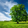 Single oak tree — Stockfoto