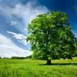 Single oak tree — Stock Photo #3178764