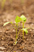 Pepper seedling — Stock Photo
