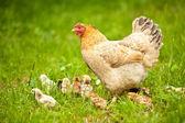 Kuře s dětmi — Stock fotografie