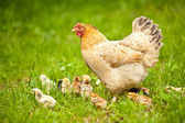 Pollo con bebés — Foto de Stock