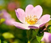 Briar różowy kwiat — Zdjęcie stockowe