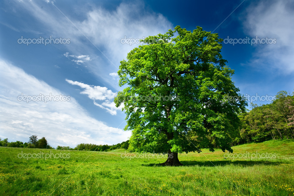 Single big oak tree in a meadow near the forest — Stock Photo #3178764