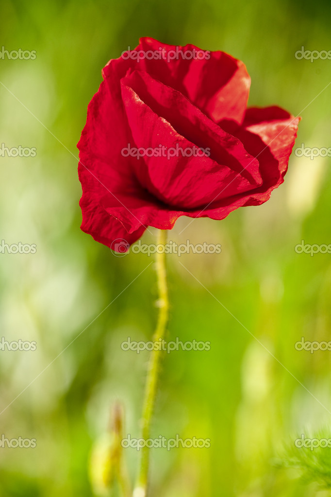 Close up of a poppy over green blurred background  Stock Photo #3178779
