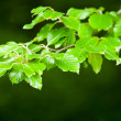 Stock Photo: Birch leaves