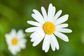 White daisy — Stock Photo