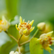 Tilia flowers - Stock Photo
