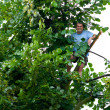 Man climbed in a tilia tree - Stock Photo
